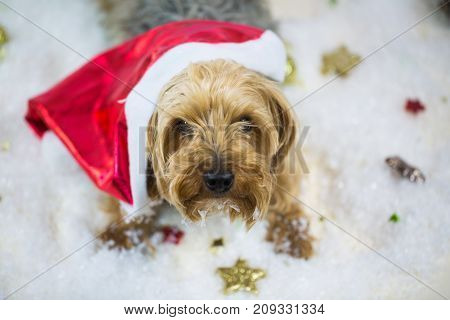 yorkshire terrier with santa claus hat lying in the snow