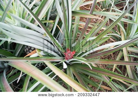 pineapple on a field in Maechae in thailand