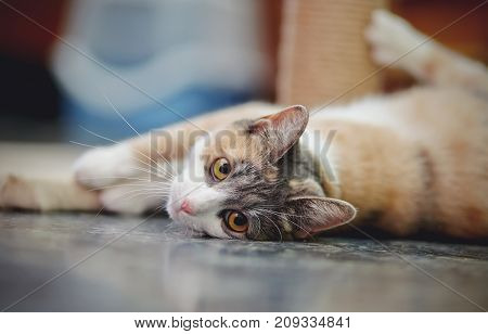 Beautiful multi-colored cat with yellow eyes lies on a floor.