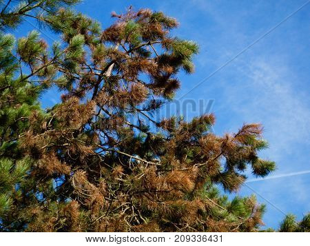 Scots pine browned by exposure to wind