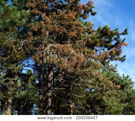 Scots pines damaged by exposure to winter winds