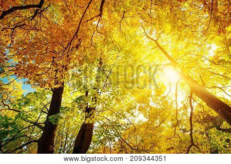 trees with multicolored leaves in the park. Maple foliage in sunny autumn. Sunlight in early morning in forest
