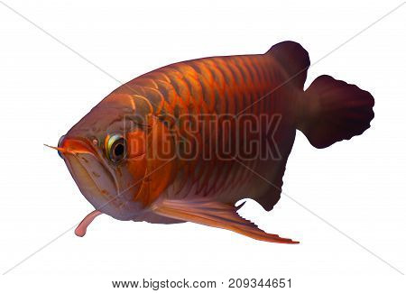 Asian red arowana fish isolated in a white background