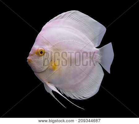 White discus fish isolated in a black background