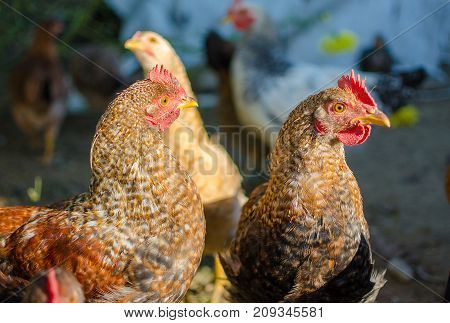 Home Poultry Chickens Grazing And Walking Outdoors