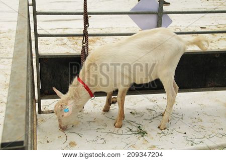 male white goat in the enclosure at the exhibition of farm animals in Vendryne, Czech Republic, October 14, 2017