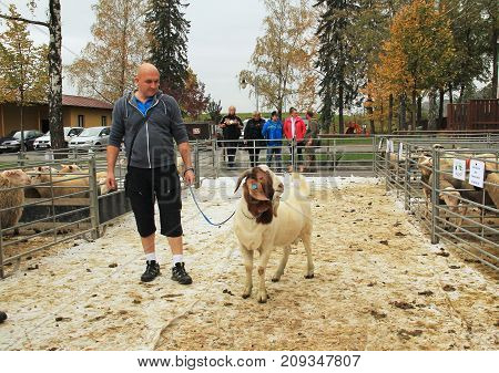 big male Boer goat walking on the leash with its owner at the exhibition of farm animals in Vendryne, Czech Republic, October 14, 2017