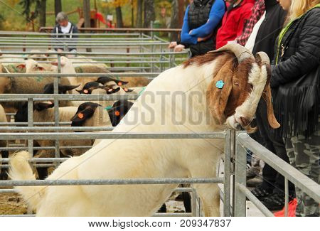 clever male Boer goat trying to open its enclosure with its mouth at the exhibition of farm animals in Vendryne, Czech Republic, October 14, 2017