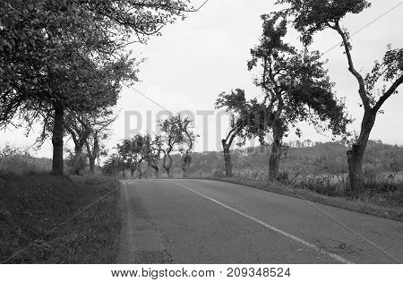 road leading through the old avenue of apple trees with crooked branches in black and white