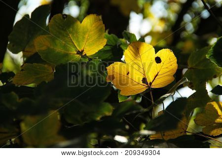 bright yellow maple leaf enlightened with the sun in contrast with dark shadows around it