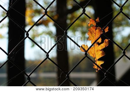 close photo of bright yellow fallen leaf of oak tree stuck in the fence enlighten with the sun
