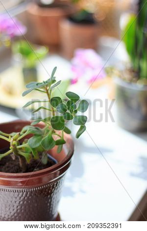 Aichrizon - beautiful home plant in a flower pot