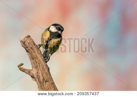 Female Great Tit Songbird Perched On Dry Worn Twig