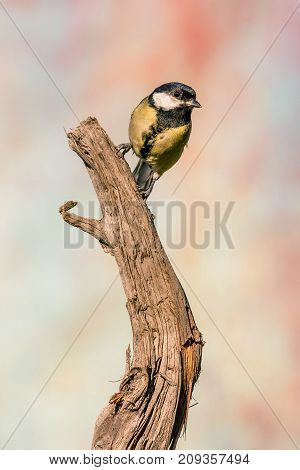 Single Female Great Tit Songbird Perched On Dry Worn Twig