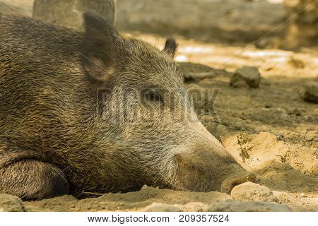close-up of a wild boar  /close-up of a wild boar lying down that is resting