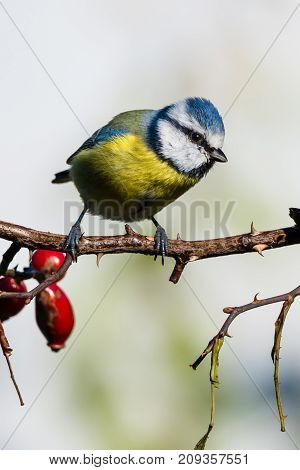 Small Male Blue-tit Perched On Rose-hip Twig With Thorns