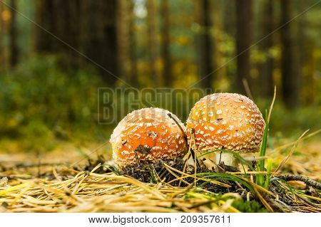 Two Small Red Spotted Toadstools Grow On The Pathway Covered By Needles