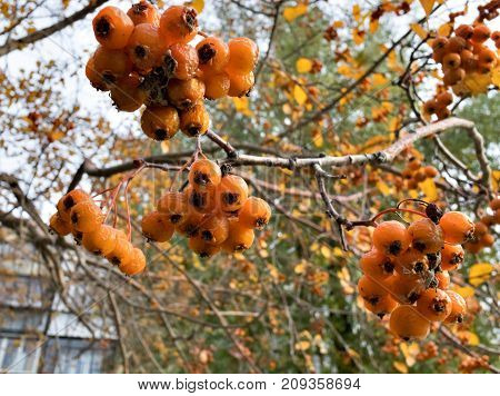 Ripe Yellow Hawthorn Berries On The Branches