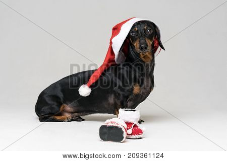 Adorable and Funny dog (puppy) dachshund black and tan wearing Santa hat ready for Christmas and New Year's shoes celebration against gray background looking at the camera