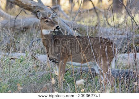 White-tailed deer doe on the woods of Northern Colorado.