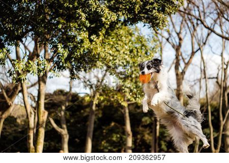 A Border Collie flying while playing fetch in Yoyogi Park.