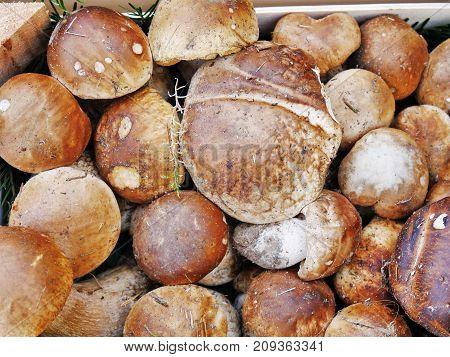 Porcini mushrooms penny bun in a box (Boletus edulis)