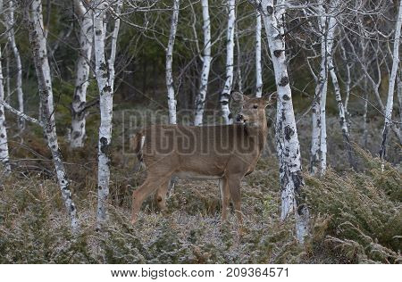 White-tailed deer wandering through the birch trees in autumn