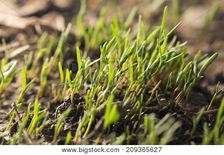 small grass sprout in soil in nature