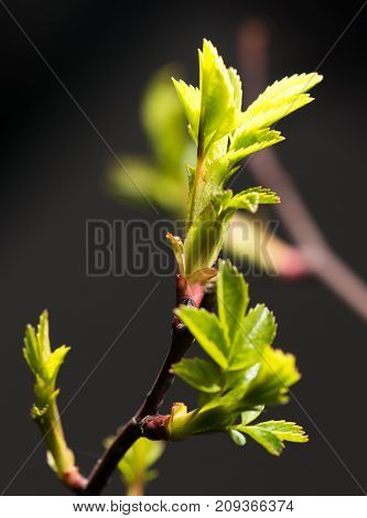 small leaves spring from buds on a black background