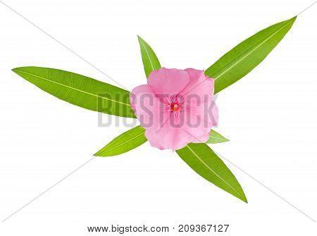 Nerium Oleander Sprig