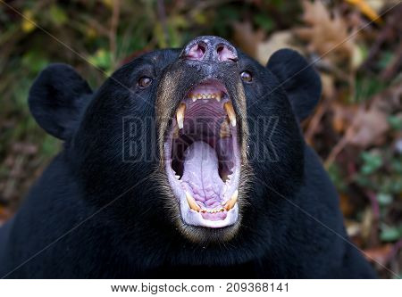 Black bear yawning and showing his teeth