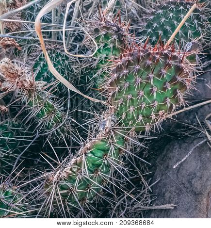 Close up of small cactus plant with red spikes