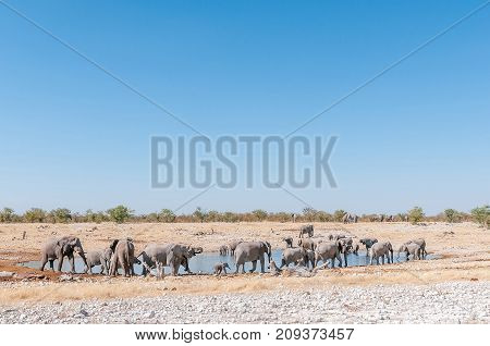 A large herd of African elephants Loxodonta africana at a waterhole in Northern Namibia