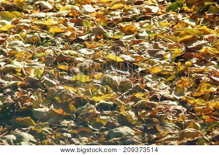 Deciduous Litter From Mix Of Fallen Autumn Birch And Poplar Leaves. Autumn Background