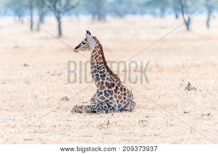 A Namibian giraffe calf giraffa camelopardalis angolensis lying on the grass in the Northern part of Namibia