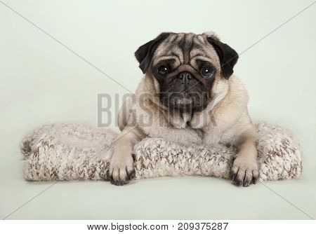 beautiful pug puppy dog lying down on fuzzy blanket on pastel background