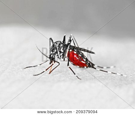 Tiger mosquito (Aedes albopictus) full of blood an alien species spreading exotic diseases in Europe