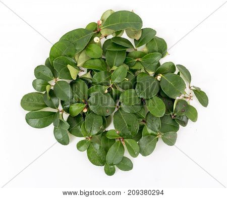 Gaultheria procumbens also called the eastern teaberry