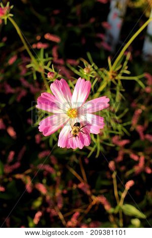 Bee crawling along a beautiful wildflower creating a shadow on the petals.