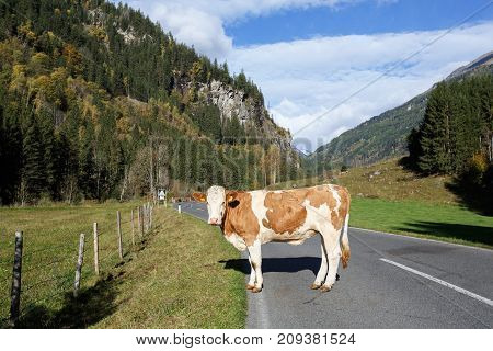 A cow standing on the road through the Alps. Federal state of Carinthia, High Tauern mountains, Austria