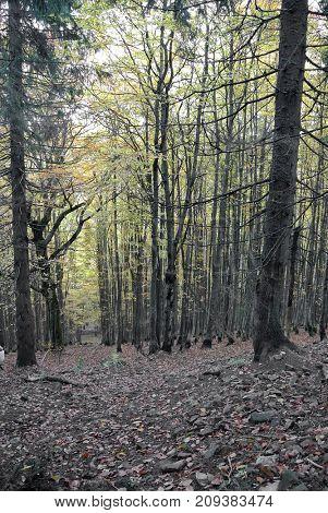 Forest .Carpathian mountains