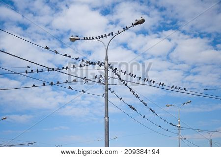 Pigeons on electric concrete pole, Group of bird resting on cable wires with blue sky background