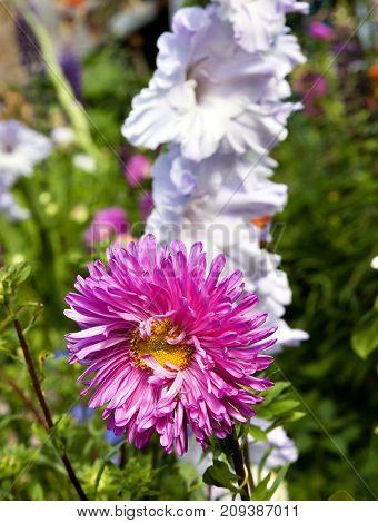 Bright Purple Aster Flower