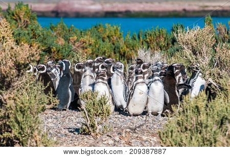 Highly detailed image of Magellanic penguins in Patagonia Argentina