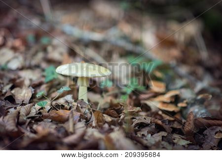 Pale toadstoo. Poisonous mushroom growing in forest. Pure poison, soft focus. Deadly toadstoo, soft focus.