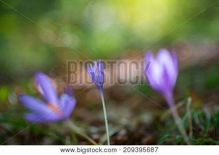 Crocuses grow in forest, beauty in nature. Saffron.