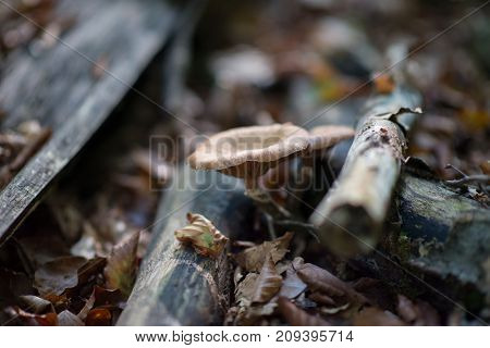 Honey agaric growing in forest among dry branches. Beautiful forest landscape with mushrooms.