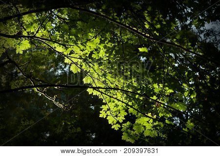 Forest Canopy, Pacific Northwest. A Pacific Northwest Rainforest canopy in the sun.