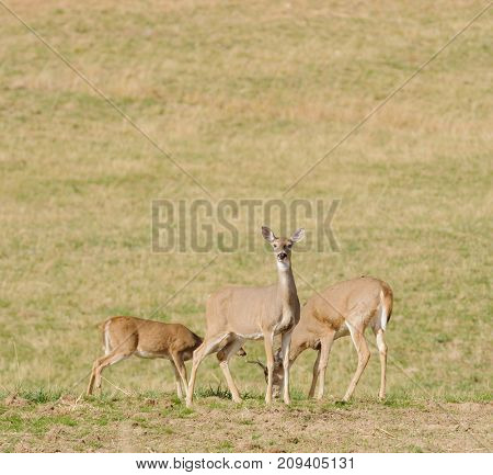 Whitetail family group