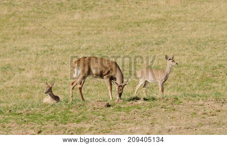 Buck feeding with two fawns in a field